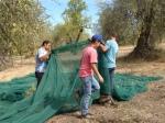 Gathering almonds in nets