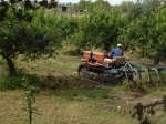 Plowing between the olive and almond trees