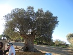 600 year old Olive Tree, Temple of Hera