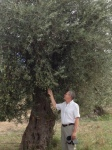 Very old olive trees full of olives