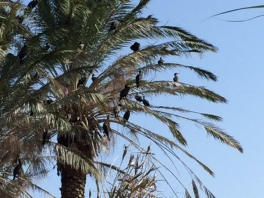 More birds in the trees.  Look like a cross between cormorants and ducks.