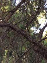 More parrots…parrots of Kibbutz Dalia instead of Parrots of Telegraph Hill