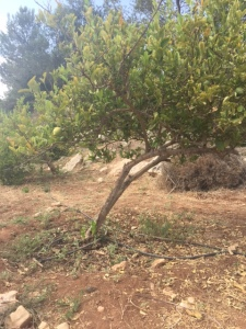 The etrog tree only grows in Israel and is quite thorny.