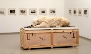 "Survival and Extinction: ""Ursus Maritimus"", Mark Dion, 1995, fiberglass, goat skin, glass eyes, art crate"