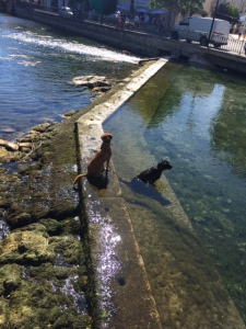 These two happy pooches were waiting for their owner who was across the river shopping.  When he came out of the store they swam across, jumped up on the dock, and went on their merry way.
