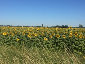 Coming and going to Arles fields of sunflowers as far as the eye can see.