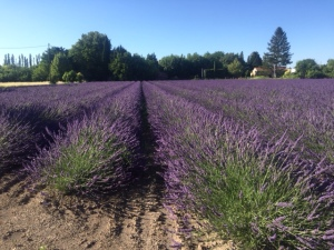 During the day the lavender fields are full of bees and the lavender is planted for them to make lavender honey. At dusk you can walk along the rows and take in the scent.